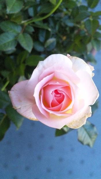 ミニバラ咲いた。バラはそんなに好きではなくてこのミニバラが拙宅に...