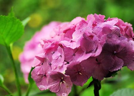 雨の日の種松山公園の紫陽花