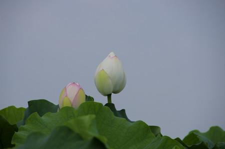 小3の孫が写した蓮根畑のハスの花