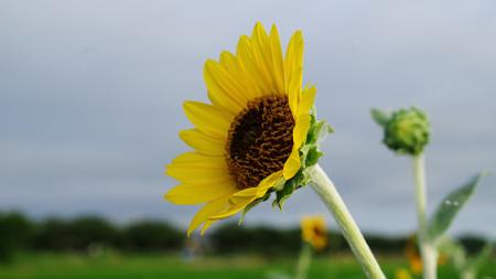 真夏の朝のひまわりの花