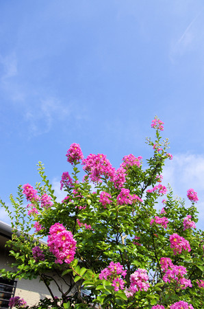 八月のピンクの百日紅