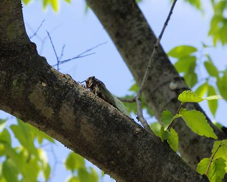 8月の午後の蝉