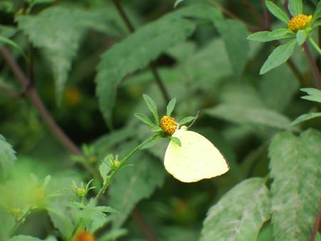 センダングサの花に止まるキチョウ