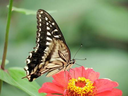 ヒャクニチソウの花に止まるキアゲハ