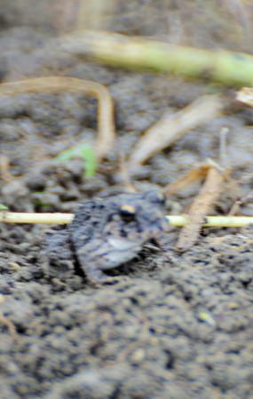 芋畑のツチガエル