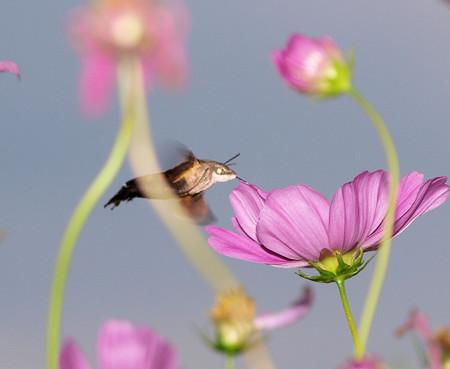 コスモスに吸蜜するホシホウジャク