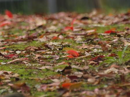 岡山後楽園の落葉