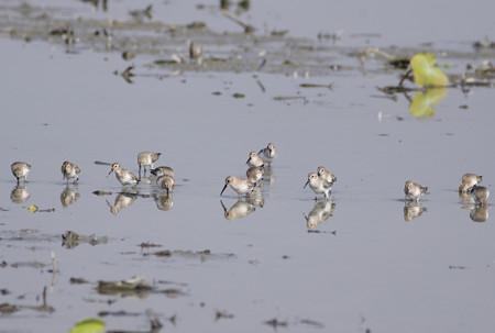 蓮田のタカブシギの群れ