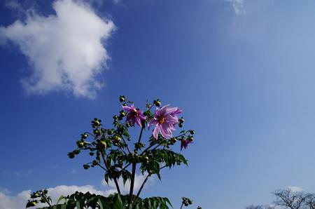 青空の下の皇帝ダリア