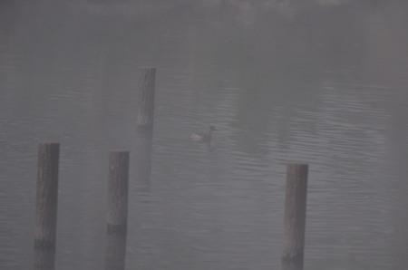 霧の朝のカイツブリ