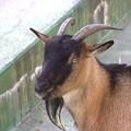 写真: 男前なヤギ
