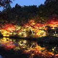 写真: 東山植物園ライトアップ1