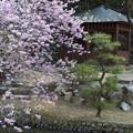 写真: 道後公園の桜1