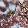 写真: 桜にメジロ1