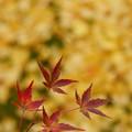 紅葉と黄色い絨毯