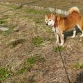 散歩する柴