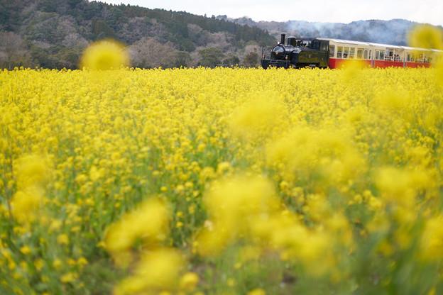 Photos: 菜の花トロッコ