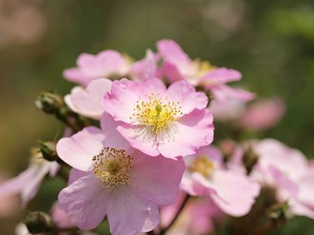 バラの一種