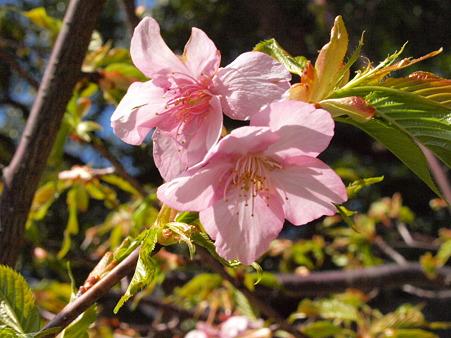 権五郎神社の桜