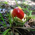 写真: 紅いタマゴ