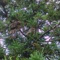 空から猫の鳴き声がするので、見上げてみると木の上の方に猫が居ました。 半日してから見に行っても、やっぱり同じ場所に。 ひょっとして、降りられないのかい (-_-)?