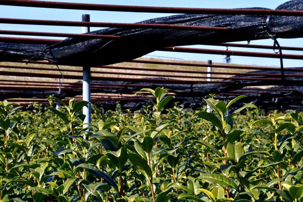 2017_0204_115230 宇治茶畑