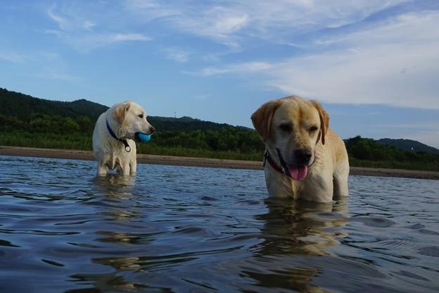 兄弟わんこの川遊び