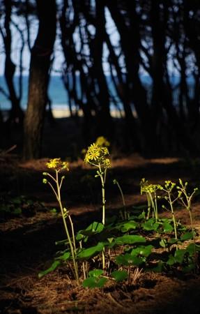 松林のツワブキ咲き始め