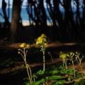 写真: 松林のツワブキ咲き始め