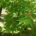 写真: 初夏の楓