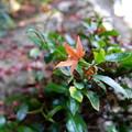 写真: 紅葉ひとつ