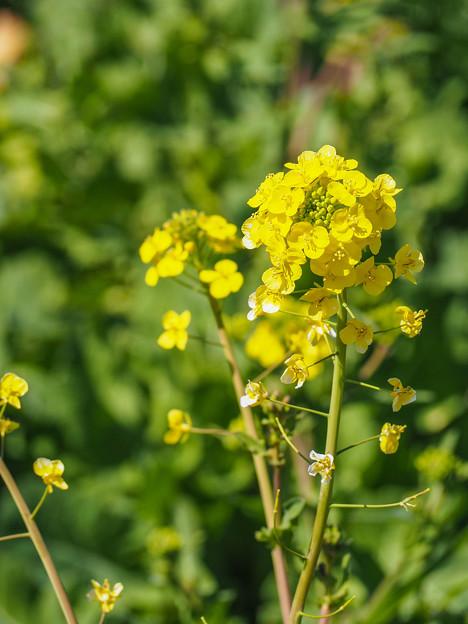 スタンダード菜の花