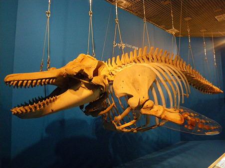 シャチの骨