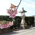 桜咲く神社 (2)