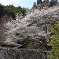 写真: 塩釜桜3.26(4)