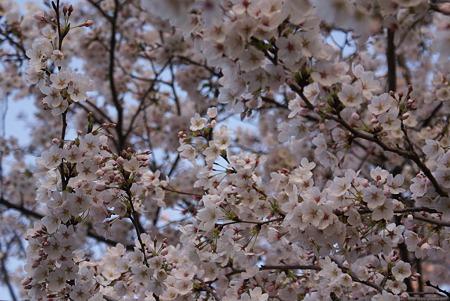 朝陽をあびる桜・その6