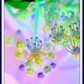 写真: コンペート紫陽花