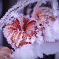 写真: しばれホーズキ~アイス