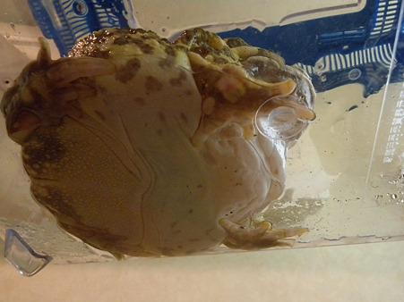 カエルの水あび