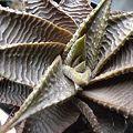 写真: Haworthia limifolia var. stolonifera