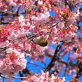 緋寒桜とメジロさん