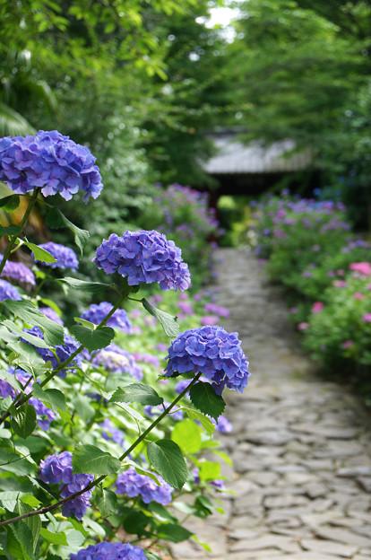 参道の紫陽花