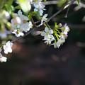 写真: 冬の桜