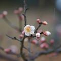 写真: 咲き初め