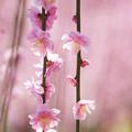 写真: 春ほころぶ