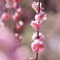 写真: 花枝垂れ