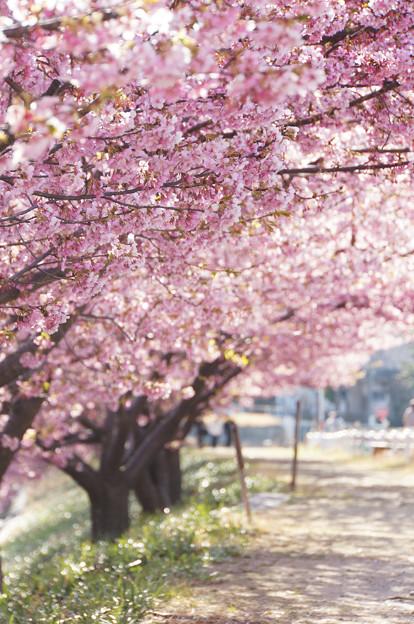 写真: 葵桜の並木道