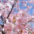 河津桜満開也