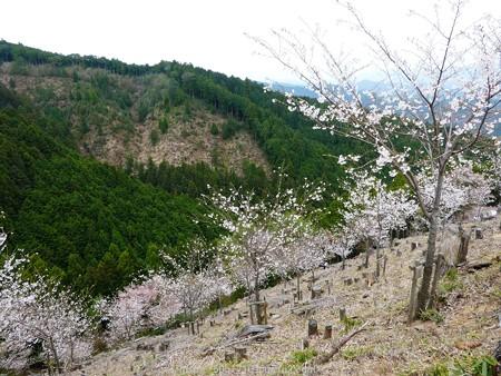 160410-吉野山 (43)
