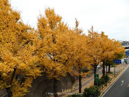 161130-山下公園通り黄葉 (52)